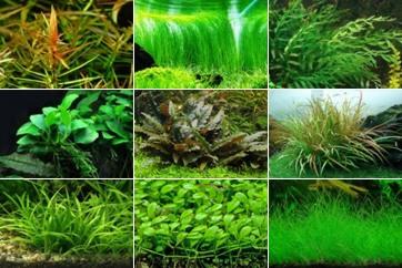 аквариумные растения каталог с фото